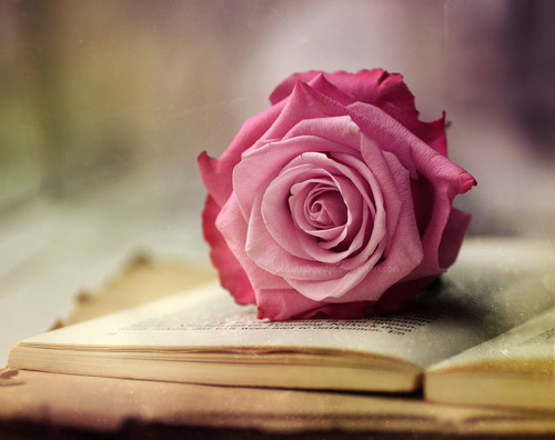 rosado, rosa rose