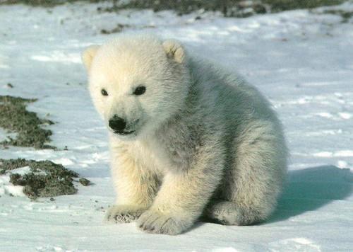 polar bear:)