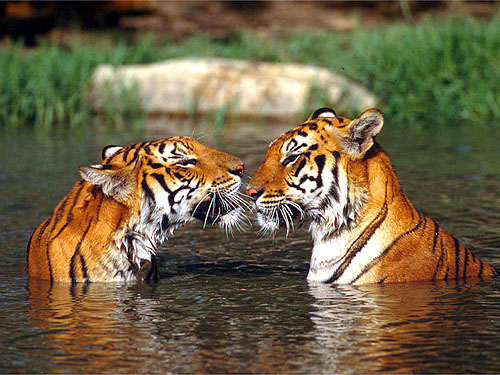 two tigers:) - animals Photo