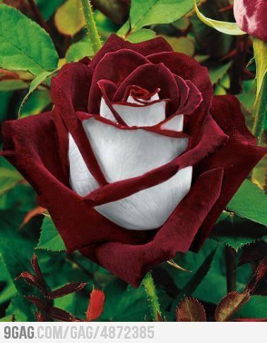 A osiria rose