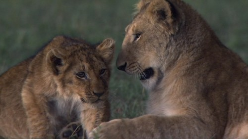 African 고양이 lion cubs