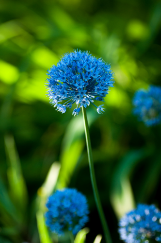 Blue fleurs