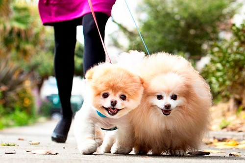 Boo and buddy the cutest anjing ever