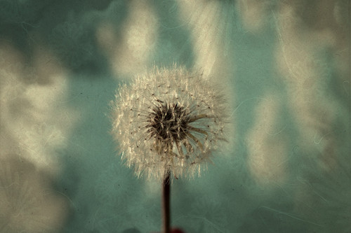 Photography wallpaper called Dandelion Art