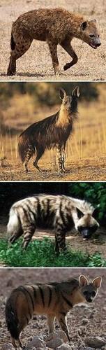 Different Hyenas