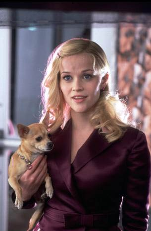 Legally Blonde kertas dinding with a chihuahua called Legally Blonde