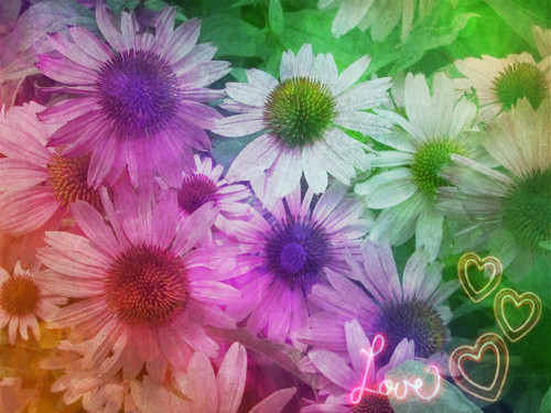 fotografia wallpaper containing a blue eyed african daisy, an african daisy, and a margarida called amor flores