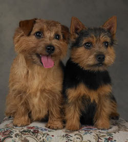 Norfolk & Norwich Terriers