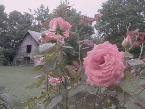 गुलाबी खलिहान