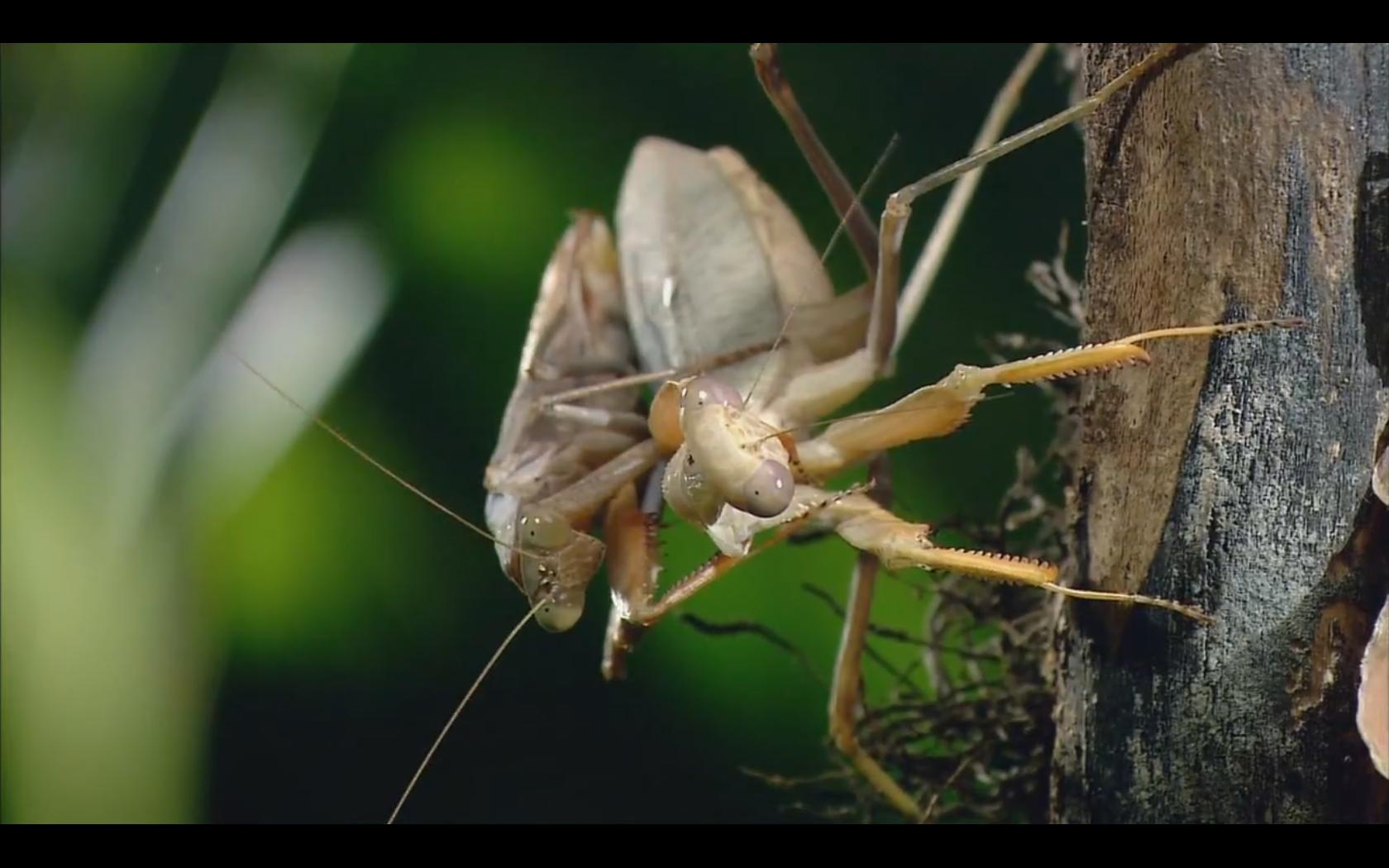 praying mantises images praying mantis wallpapers