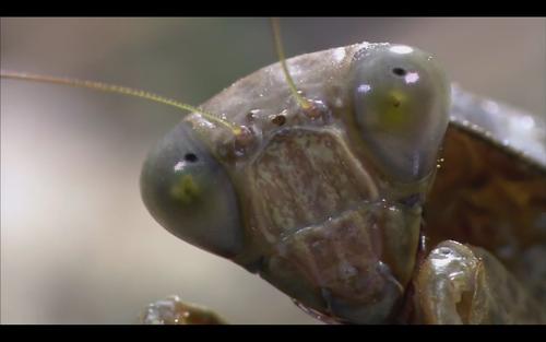 Praying Mantis fondo de pantalla collection