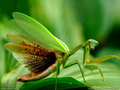 Praying Mantis Wallpapers collection