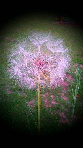 Puff flower - photography Photo
