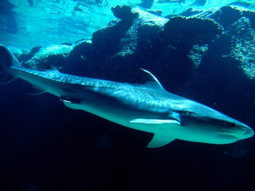 TIGER शार्क वॉलपेपर titled शार्क