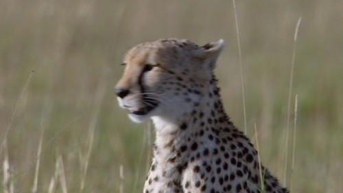 Sita the mother cheetah