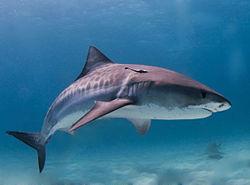 Tiger requin