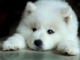White 늑대 Pup
