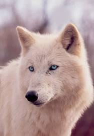 White wolf wallpaper with blue eyes - photo#15