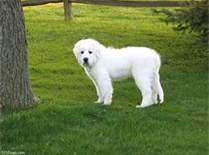 cute 子犬 i am sad my great pyrrnees past away