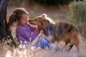 Dogs wallpaper possibly containing a shetland sheepdog entitled dog
