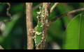 mantids in rainforest