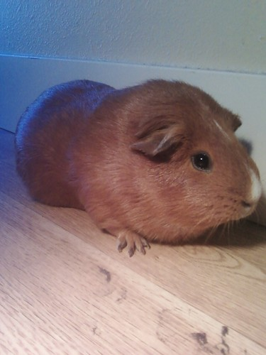 Guinea Pigs achtergrond called my baby g-pigs