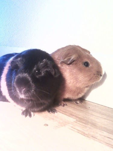 Guinea Pigs wolpeyper called my baby g-pigs