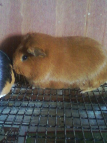 Guinea Pigs wallpaper titled my baby g-pigs