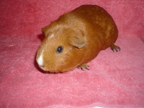 Guinea Pigs वॉलपेपर possibly with a guinea pig called my baby g-pigs