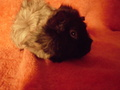 my baby g-pigs - guinea-pigs photo