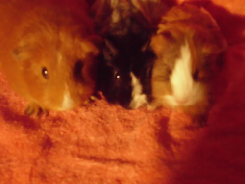 Guinea Pigs wallpaper probably containing a mouse and a rat entitled my baby g-pigs
