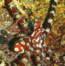 candycane octopus