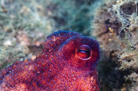 color changing octopus eye