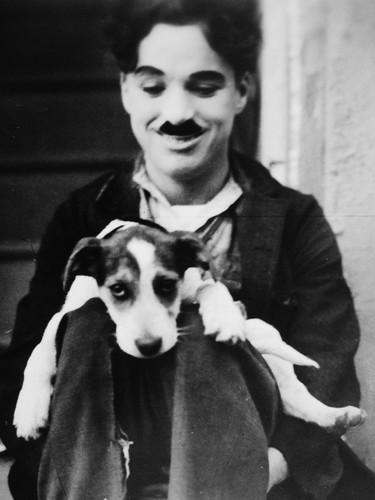Charlie Chaplin karatasi la kupamba ukuta probably containing a panya terrier called ¢нαяℓιє