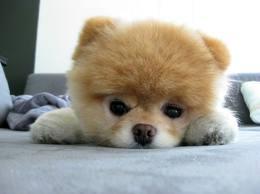Cute chó con hình nền probably containing a pomeranian, người đào hoa entitled BOO