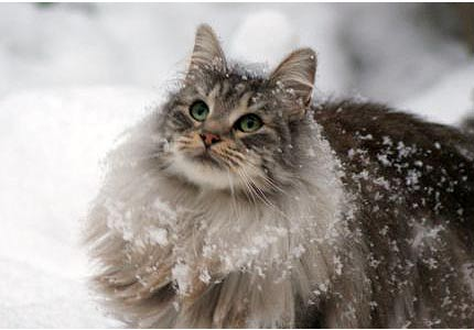 Norweigan forest cat