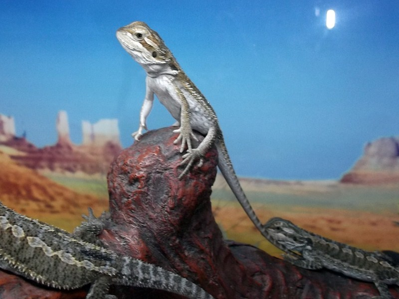 Bearded dragons images one month old hatchlings hd wallpaper and bearded dragons images one month old hatchlings hd wallpaper and background photos voltagebd Choice Image