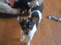Roxy - chihuahuas photo