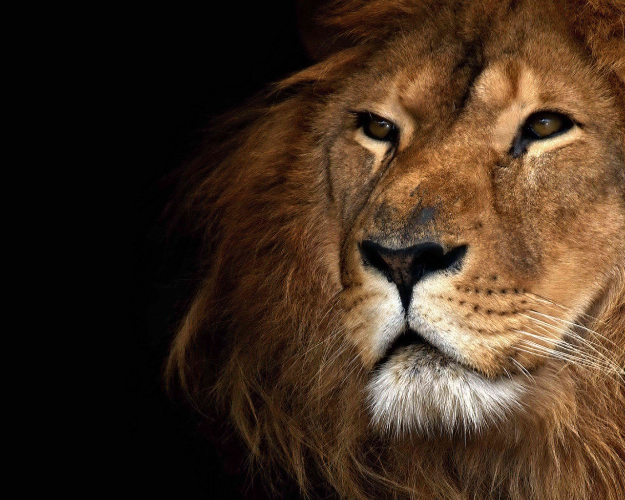 Lions Images The King Hd Wallpaper And Background Photos 31743924