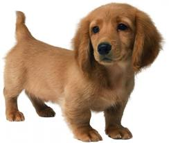 Cute chó con hình nền titled adorable pup