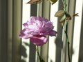 another rose - roses photo