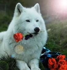 beatiful white lobo with rosas