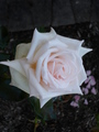 beautiful rose - roses photo