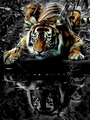intense - tigers photo