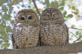 owl - owls photo