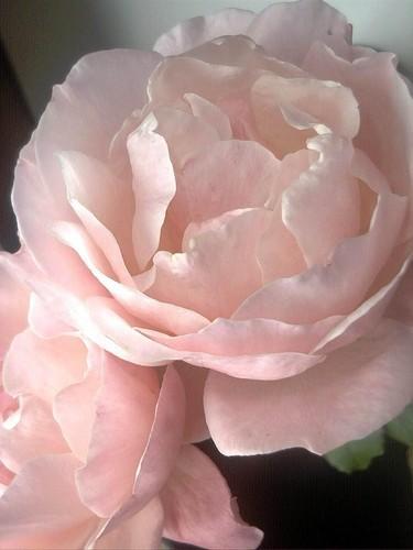 merah jambu