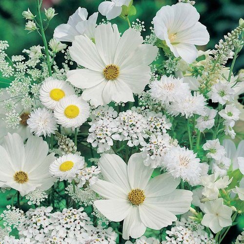immagini bellissime wallpaper with a common daisy, a daisy, and a blue eyed african margherita entitled white fiori