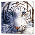 Bengal White Tiger - white-tiger photo
