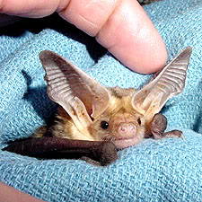 Big eared bat!