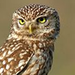 Burrowing Owl Icon - owls icon
